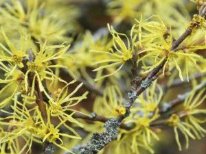 Hamamelis krzew ozdobny – co musimy o nim wiedzieć?