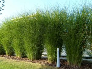 Najpiękniejsze trawy ozdobne miskant
