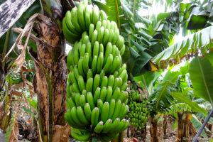 Gdzie rosną banany? Co powinniśmy o nich wiedzieć?