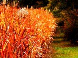 Miskant chiński Red Chief – co powinniśmy wiedzieć o tej roślinie?