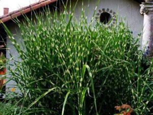 """Miskant chiński """"Strictus"""" – przepiękna roślina"""