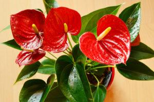 Zamoikulkas – trujący kwiat doniczkowy