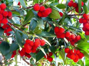 Drzewo truskawkowe – wymagania i uprawa