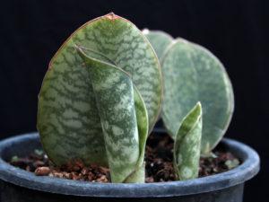 Wielki liść ozdobny, czyli sansewieria masoniana w uprawie doniczkowej