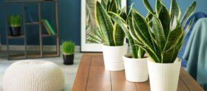 Sansewieria moonshine – niezniszczalna roślina do wnętrz minimalistycznych