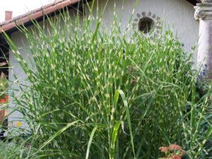 Miskant chiński zebrinus – trawa ozdobna do ogrodu